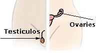 Illu_endocrine_system-1